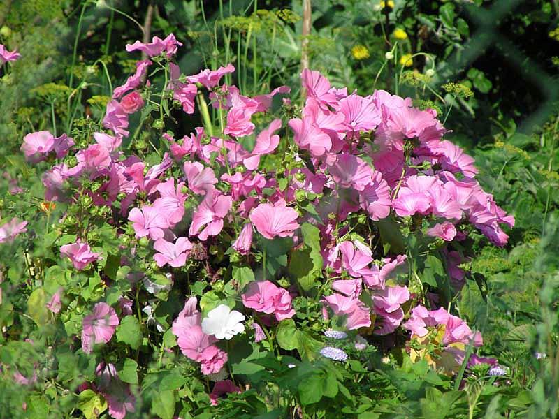 Цветы фото лаватера - Фото ц…