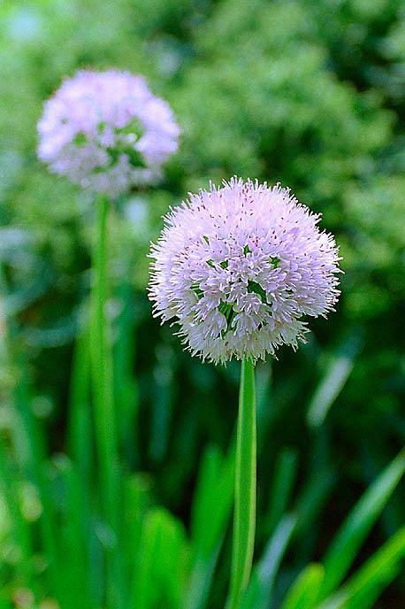Разведение красивоцветущих луков в садах уже имеет свою историю. Еще