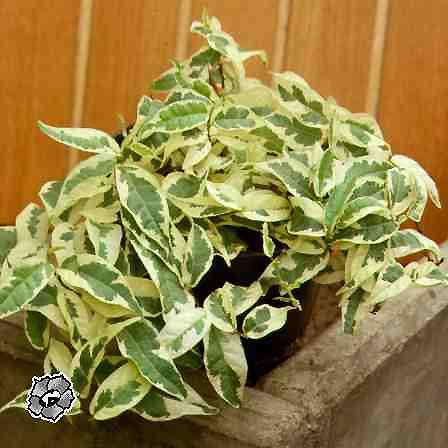 Комнатные вьющиеся растения.